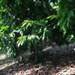 les petits producteurs de cacao veulent une revalorisation des prix