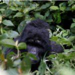 Une gorille ougandaise de 25 ans tué dans un parc de l'UNESCO