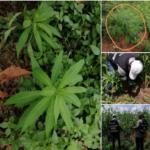 Côte d'Ivoire - Découverte d'une culture de cannabis au sein de la prison de Korhogo